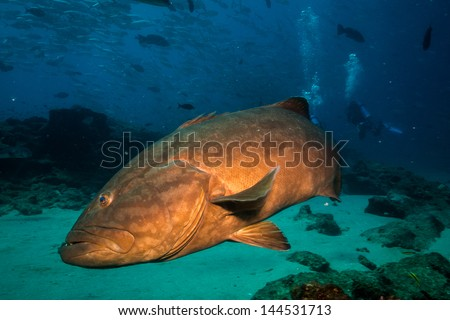 pacific goliath grouper  Giant grouper Stock Photos, Illustrations,