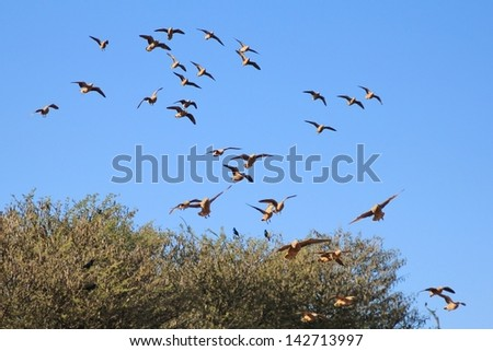 Grouse, Namaqua Sand - Wild and Free Birds from Africa - Gliding in to a watering hole on a game ranch in Namibia.