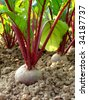 growing beetroot on the vegetable bed - stock photo