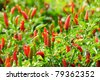 Growing red hot chili peppers - stock photo