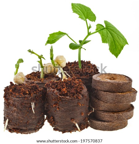 Growing seedlings in peat pressed tablet pot isolated on white background