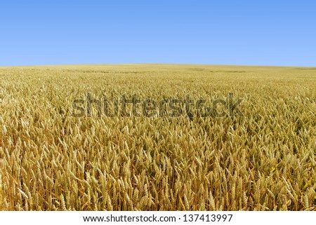 Growing wheat on the land.