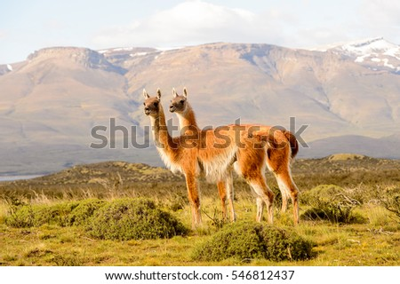 Guanacos on a mountain hill in Patagonia, Chile