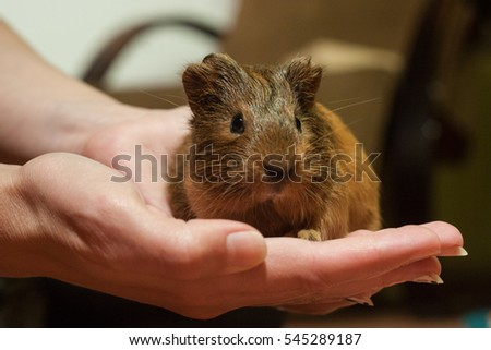 Guinea pig on the hand