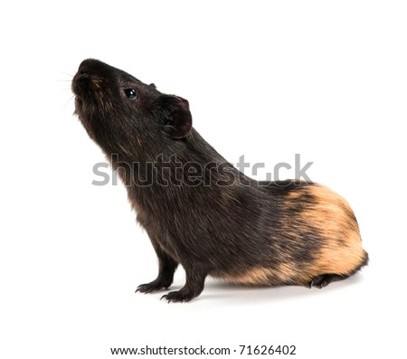 Side view guinea pig stock photo 215727484 shutterstock for Guinea pig stand