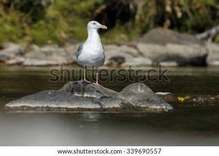 Gull standing in a river