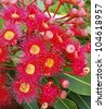 gum flowers of Eucalyptus summer red corymbia Australiana - stock photo