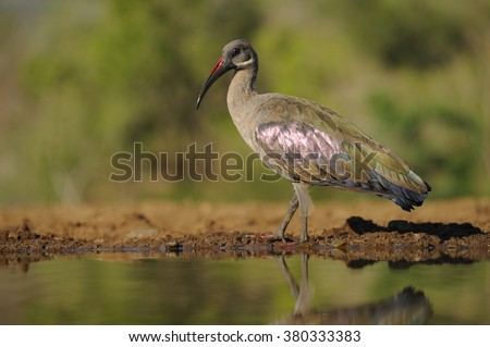 Hadeda or Brown Ibis (Bostrychia hagedash) at a water hole in the African bush. Zululand, south africa. hadedas are specialist ground feeders that target crickets, locusts and other insects.