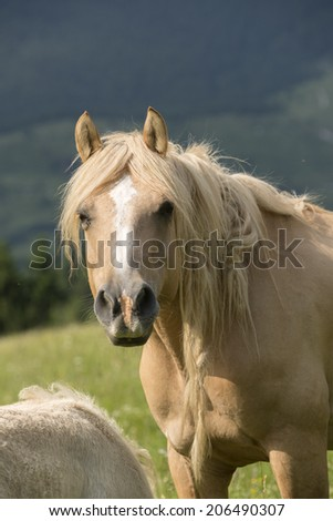 Haflinger marel in the italian mountain