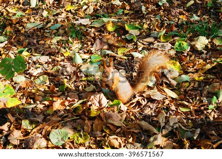 Half-turned Squirrel with a fluffy tail standing on his hind legs among the autumn leaves in a city park