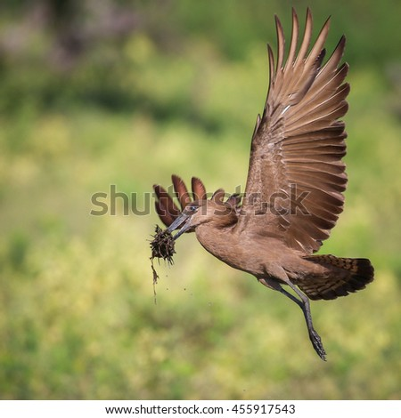Hamerkop bird with nesting material in flight with green grass in background, Africa