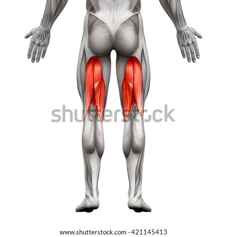 Hamstrings - Anatomy Muscle isolated on white - 3D illustration
