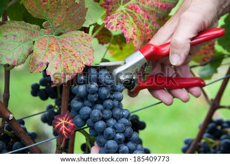 Hand cutting grape Pinot noir in harvest time