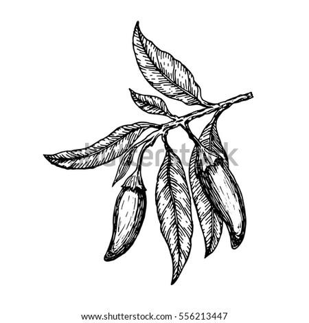 Coca Bush Seeds