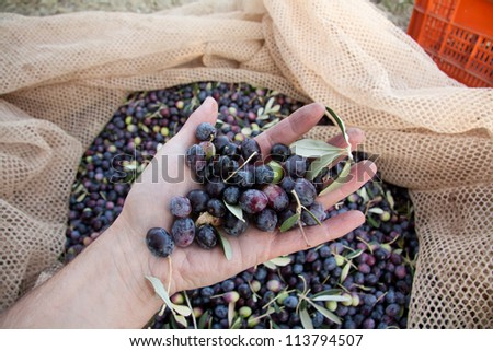 hand holding olives with harvesting net with Olives on it on the background. Image taken in Tuscany country, the harvesting is made by hand in traditional way from men