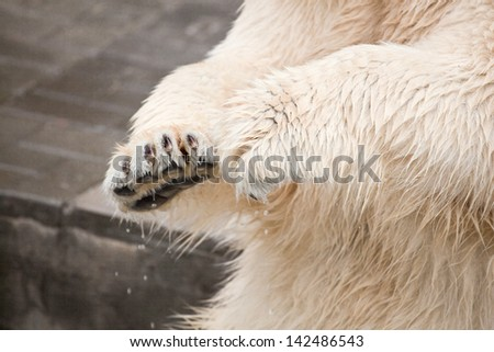 Hands of white bear