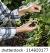 Hands picking blackberries during main harvest season with basket full of blackberries. - stock photo