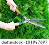 Hands with garden shears cut the green thuja. - stock photo
