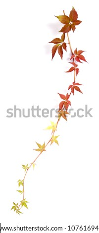 Hanging shoot of a climbing plant