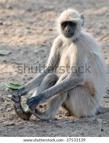 Hanuman Langur Semnopithecus entellus clutching his feet