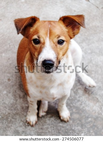 happy active young Jack Russel terrier dog white and brown playing around a house with home outdoor surrounding making serious face, sitting on the floor under morning sunlight in good weather day