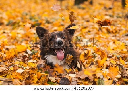 Happy brown dog in autumn yellow foliage