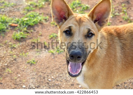happy brown dog staring