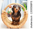 happy dog - basset hound dachshund inside a wicker basket - stock photo