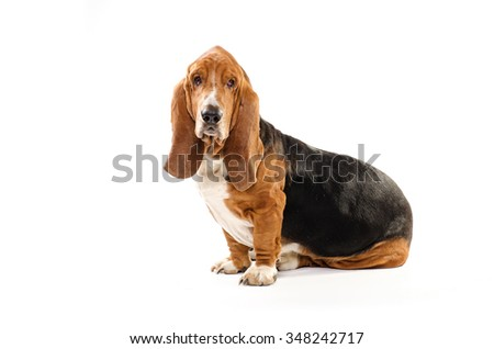 Happy dog Basset Hound sitting on the white background