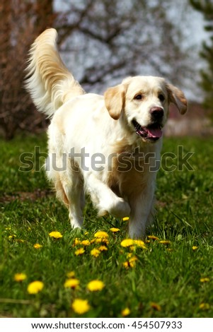 happy dog Golden Retriever quietly jogger in the summer on the nature