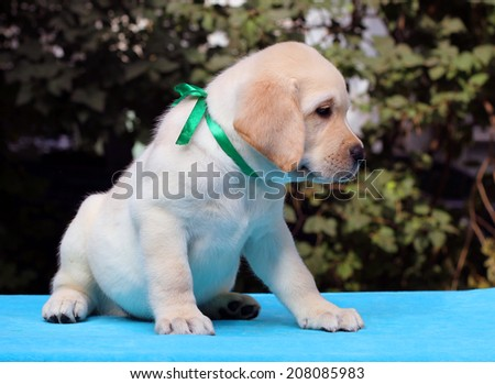 happy yellow labrador puppy sitting on blue background