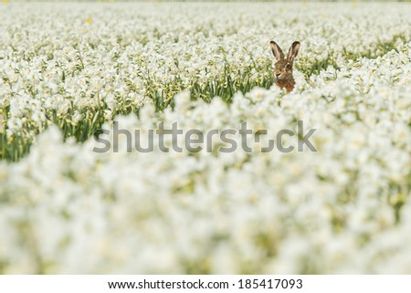 Hare between the flowers