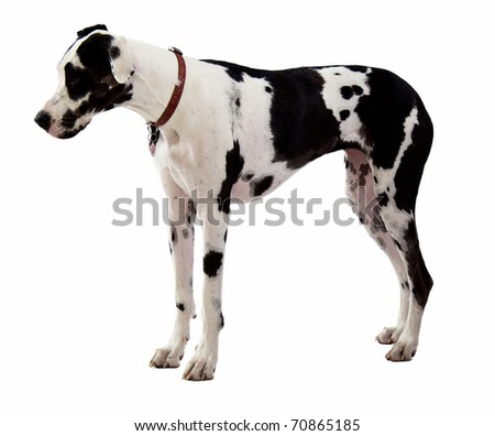 Harlequin Great Dane Standing on White Background