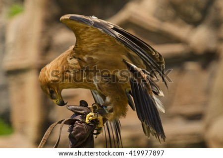 Harris hawk on the falconer's glove