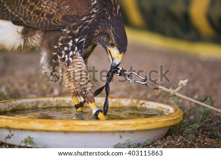 Harris Hawk or Parabuteo unicinctus, a medium-large bird of prey which breeds from the southwestern United States south to Chile and central Argentina.