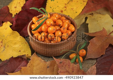 Harvesting. Ripe sea buckthorn berries with colorful leaves