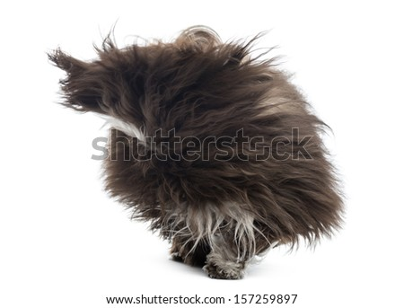 Havanese in the wind, isolated on white