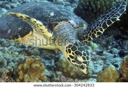 HAWKBILL SEA TURTLE SWIMMING ON THE CORAL GARDEN