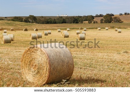 Hay field with hay bales drying in the field at harvest time