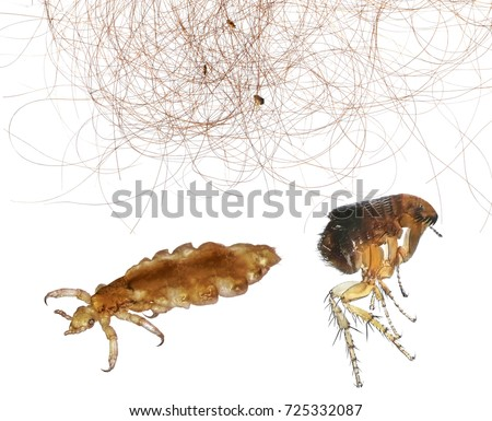 Can Dog Fleas Live In Human Hair Uk