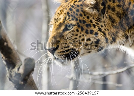 Head of a North Chinese leopard (Panthera pardus japonensis)