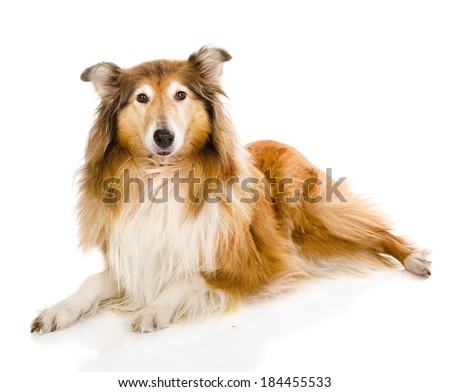 Head rough collie - Scottish shepherd (lassie). sable color. isolated on white background