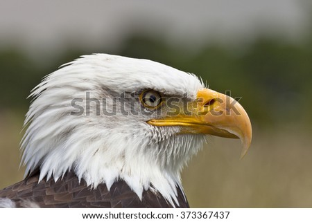 Head shot of Bald Eagle looking to the right