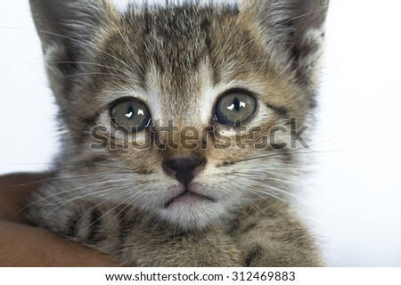 head shot of Gray and brown striped kitten white background.