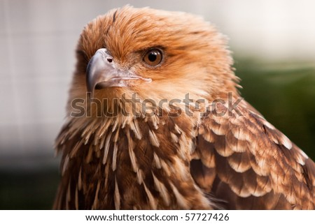 Head shot of Whistling Kite Raptor bird.