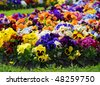 Heartsease, flower garden - close-up - stock photo