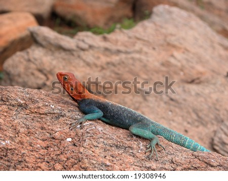 "Heating lizard on the rocks hot sun. ""Agama agama"" is a species of lizard from the Agamidae family. It is commonly referred to as the Red-headed, Common, or Rainbow agama."