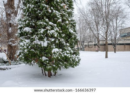 Heavy snow fall on a group of Christmas pine trees