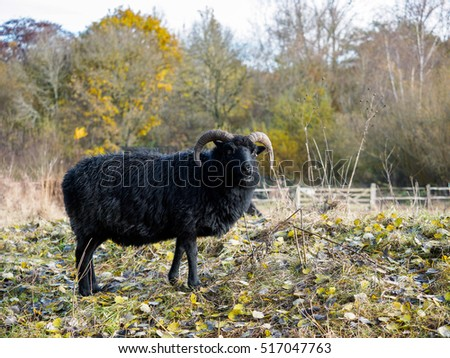 Hebridean Black Sheep at Warnham Nature Reserve