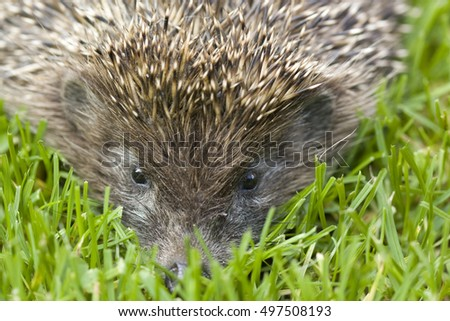 Hedgehog face on the grass